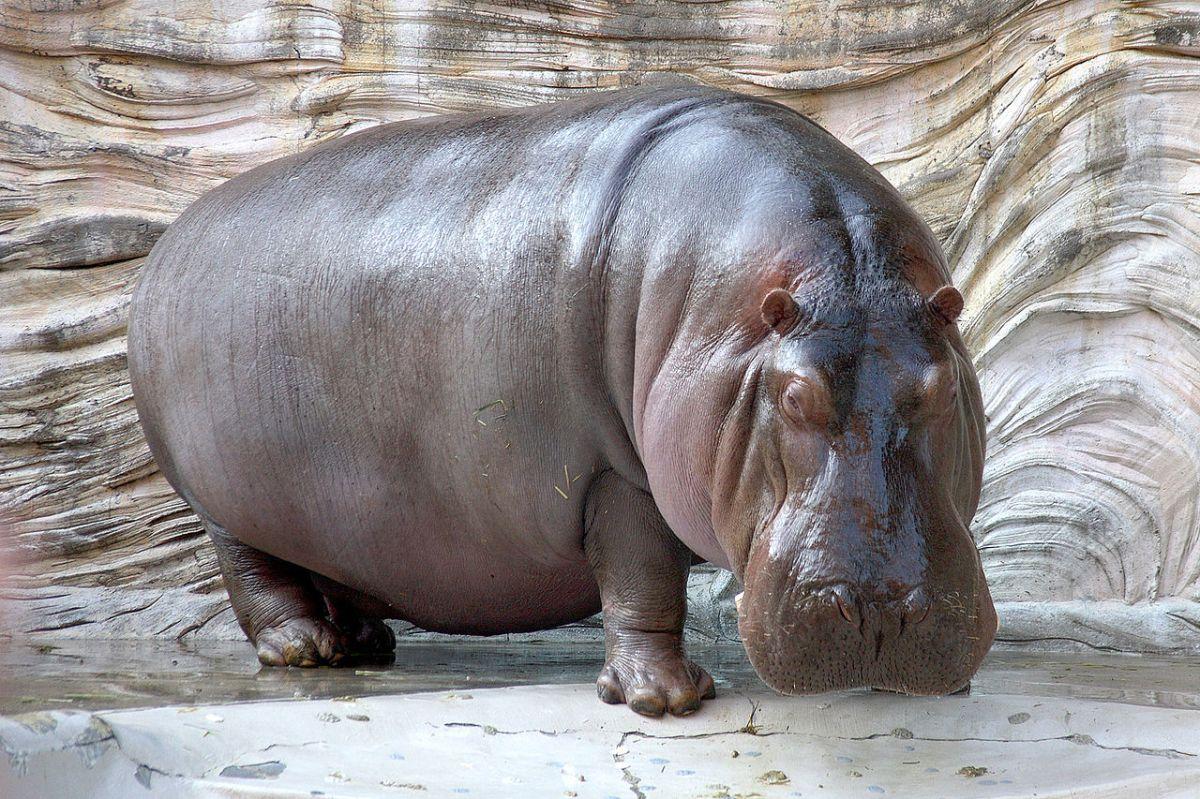 Ode to Hippopotamus